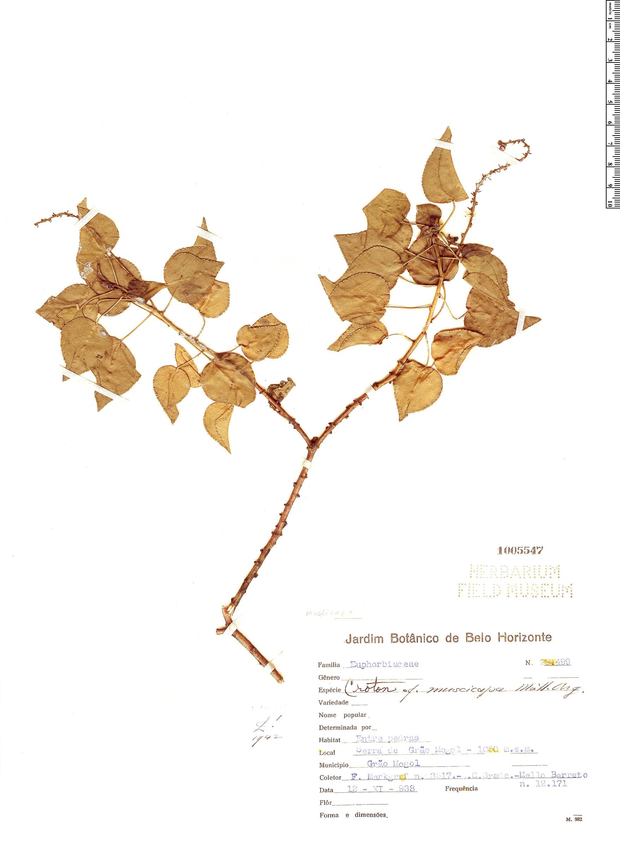 Specimen: Croton muscicapa