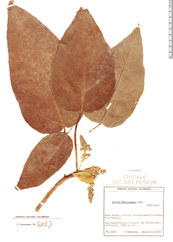 Specimen: Croton mutisianus