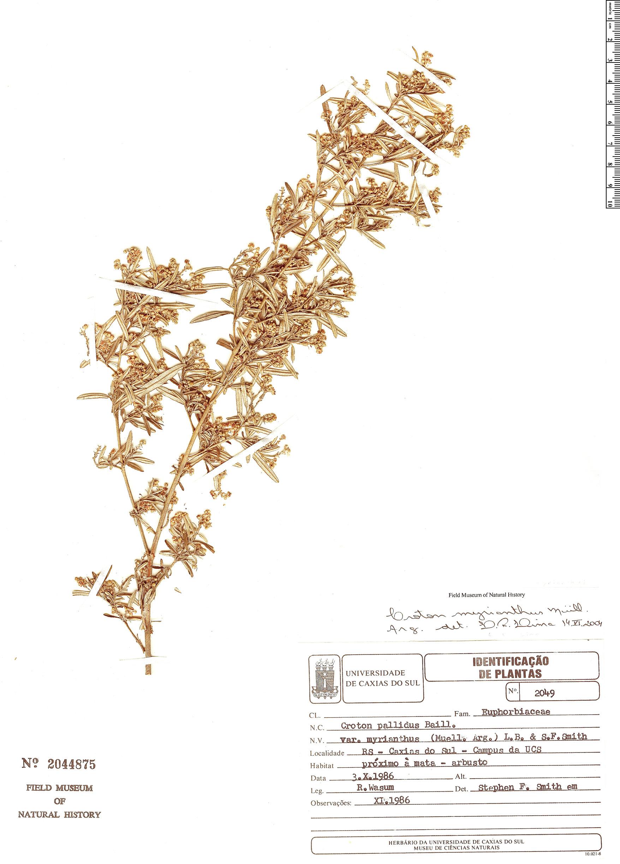 Specimen: Croton myrianthus