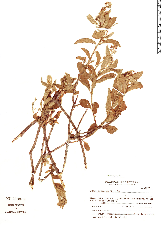 Specimen: Croton myriodontus