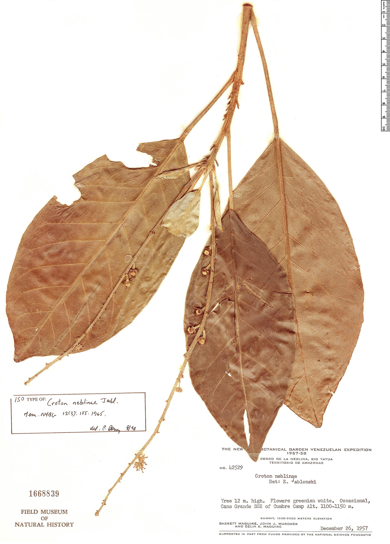 Specimen: Croton neblinae