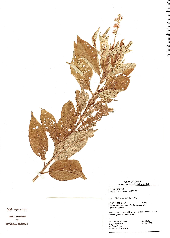 Specimen: Croton argyrophyllus