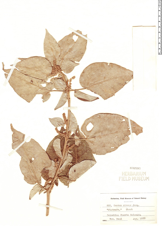Specimen: Croton niveus