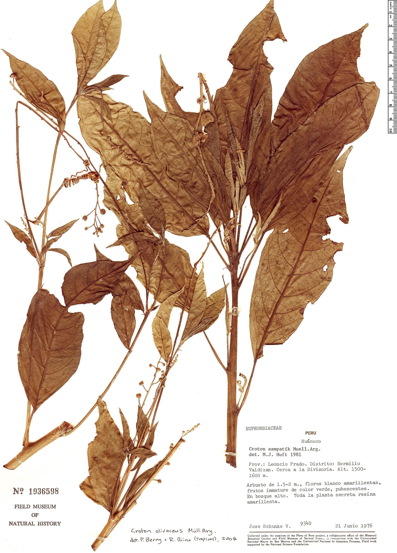 Specimen: Croton olivaceus