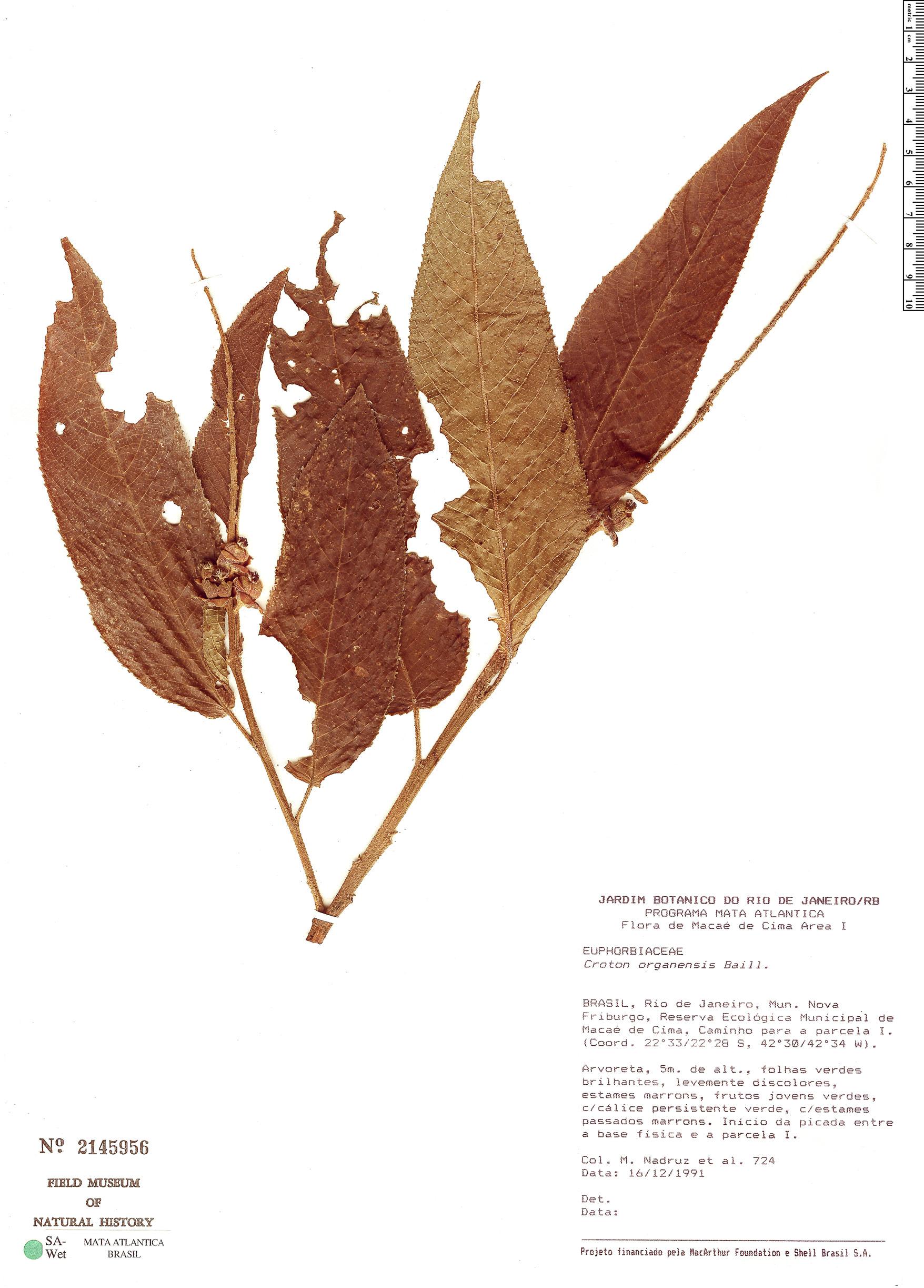 Specimen: Croton organensis