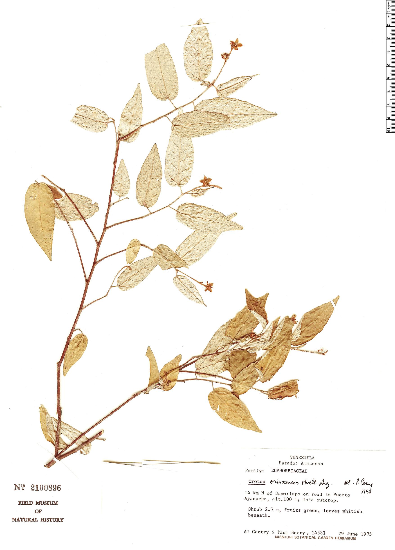 Specimen: Croton orinocensis