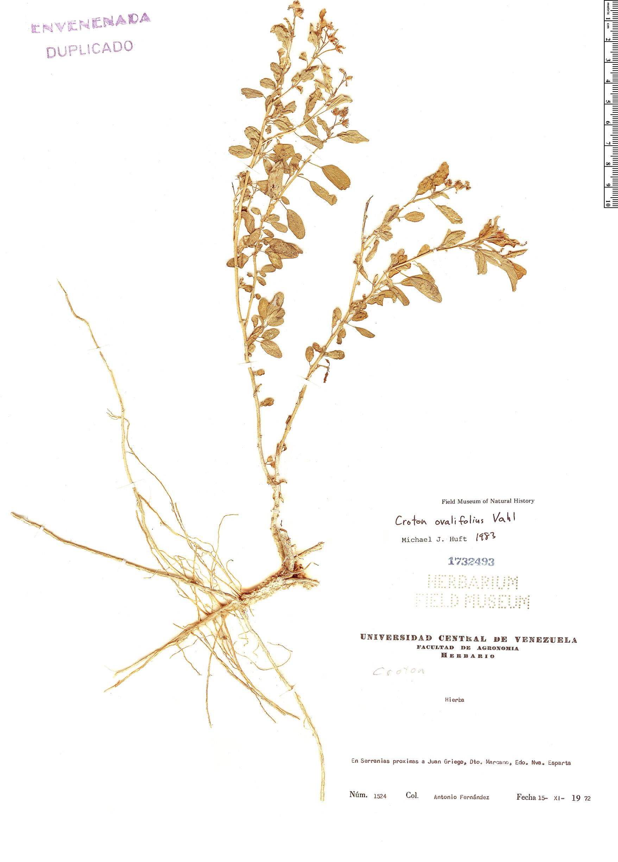 Specimen: Croton ovalifolius