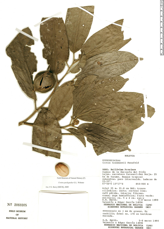 Espécimen: Croton pachypodus