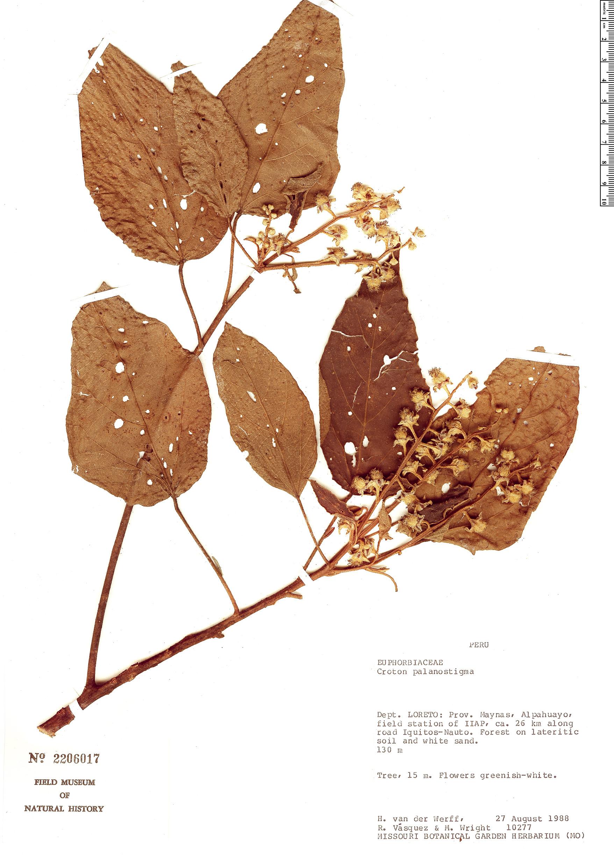 Specimen: Croton palanostigma
