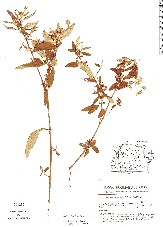 Espécimen: Croton pallidulus