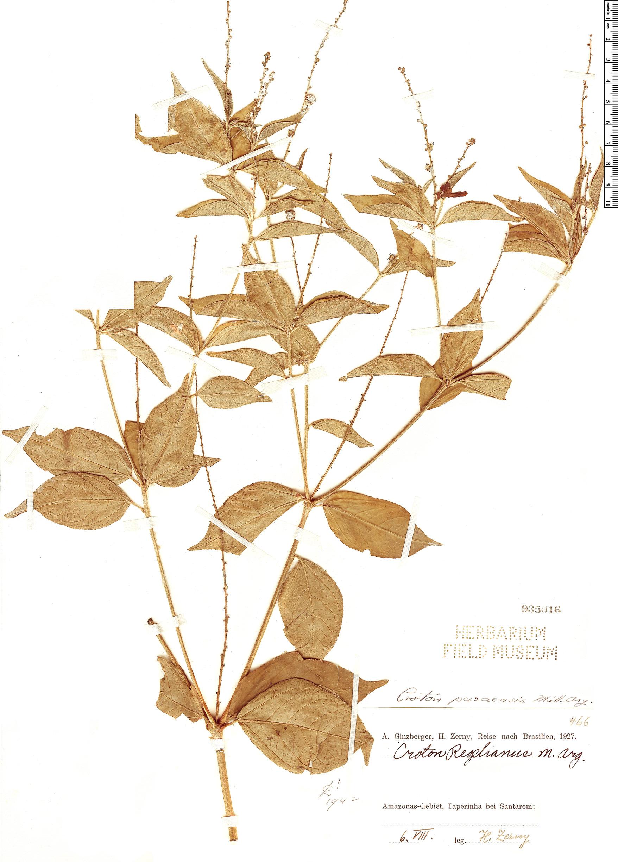 Specimen: Croton paraensis