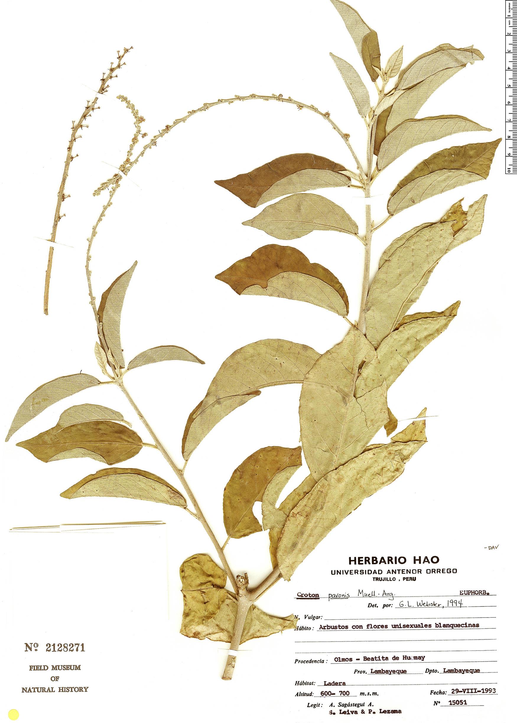 Specimen: Croton pavonis