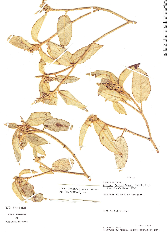 Specimen: Croton peraeruginosus