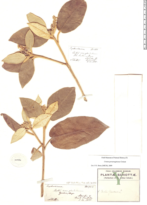 Espécime: Croton peraeruginosus