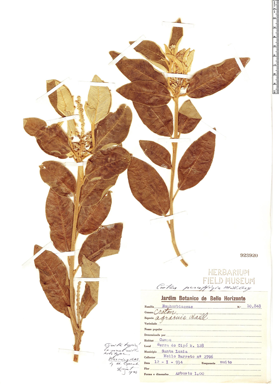 Espécime: Croton peraffinis