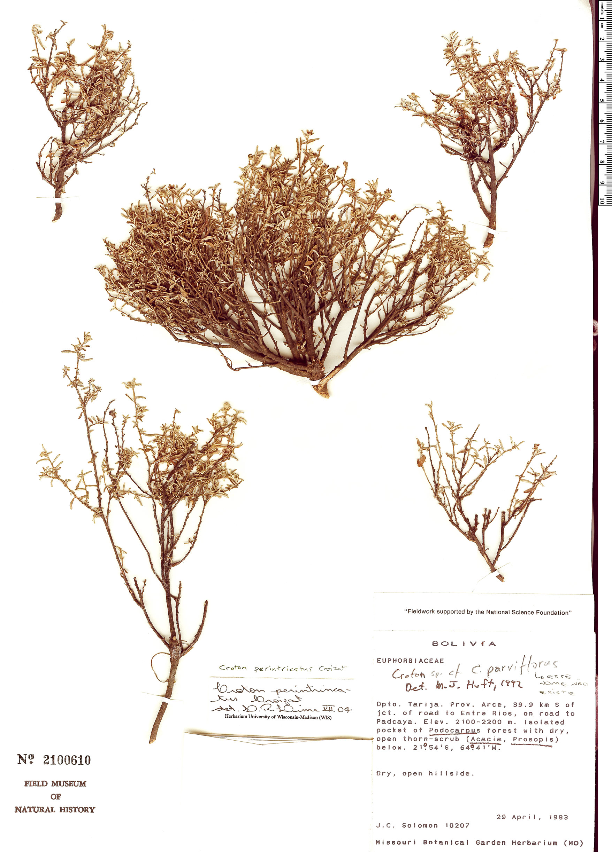 Specimen: Croton perintricatus