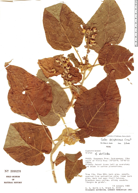 Specimen: Croton perspeciosus