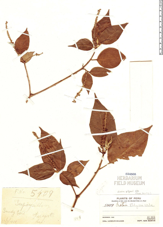 Specimen: Croton pilgeri