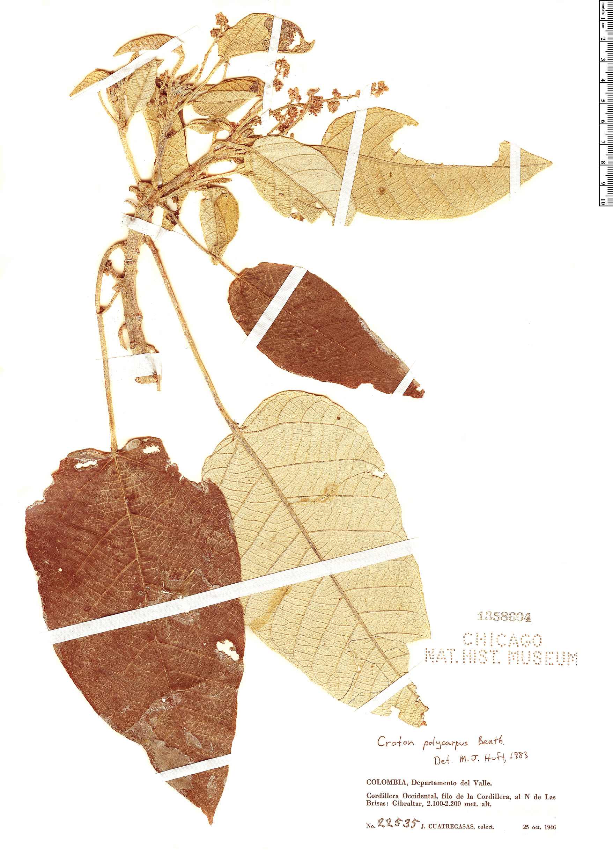 Espécime: Croton polycarpus