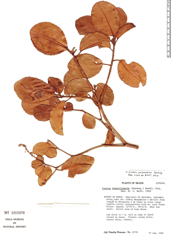 Specimen: Croton polyandrus