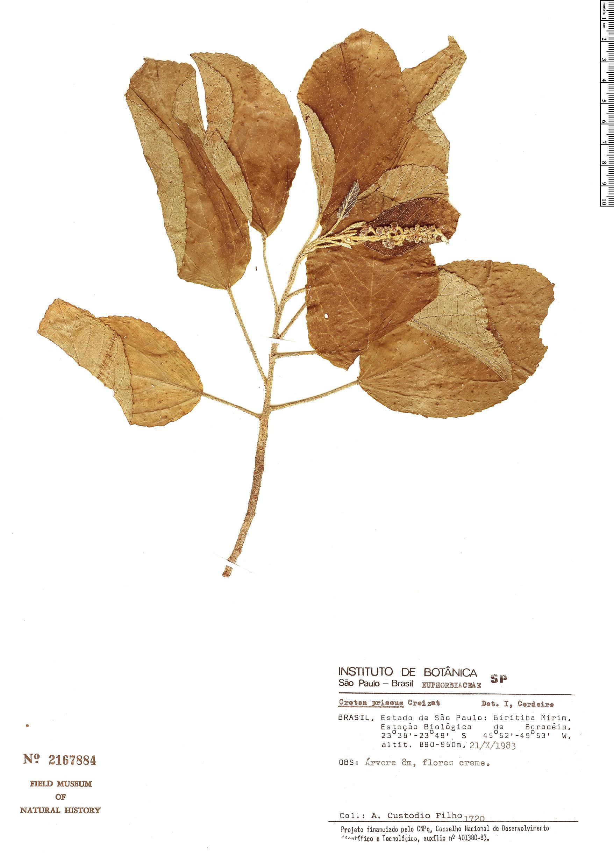 Specimen: Croton priscus