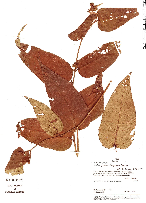 Specimen: Croton pseudofragrans