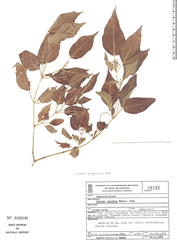 Specimen: Croton tetradenius