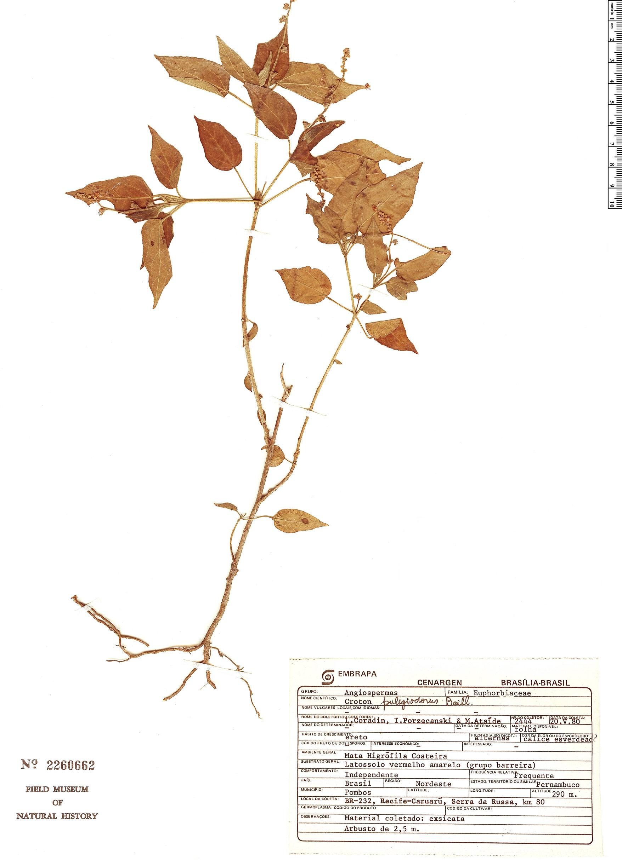 Espécimen: Croton pulegiodorus