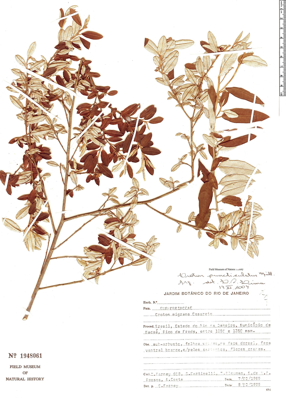 Specimen: Croton puncticulatus