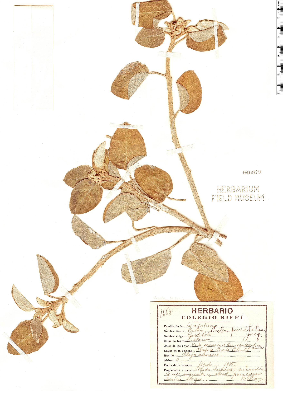 Specimen: Croton punctatus