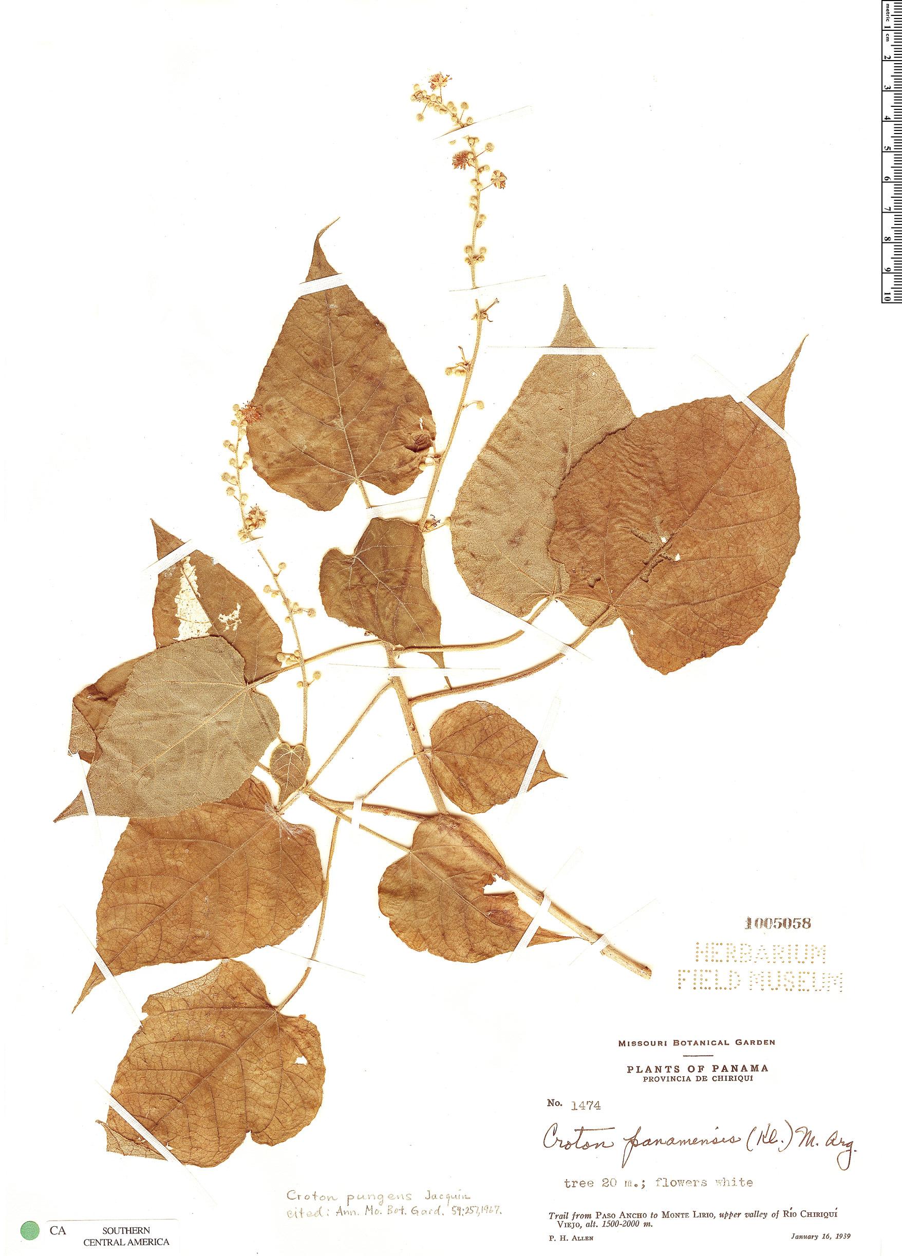 Espécime: Croton pungens