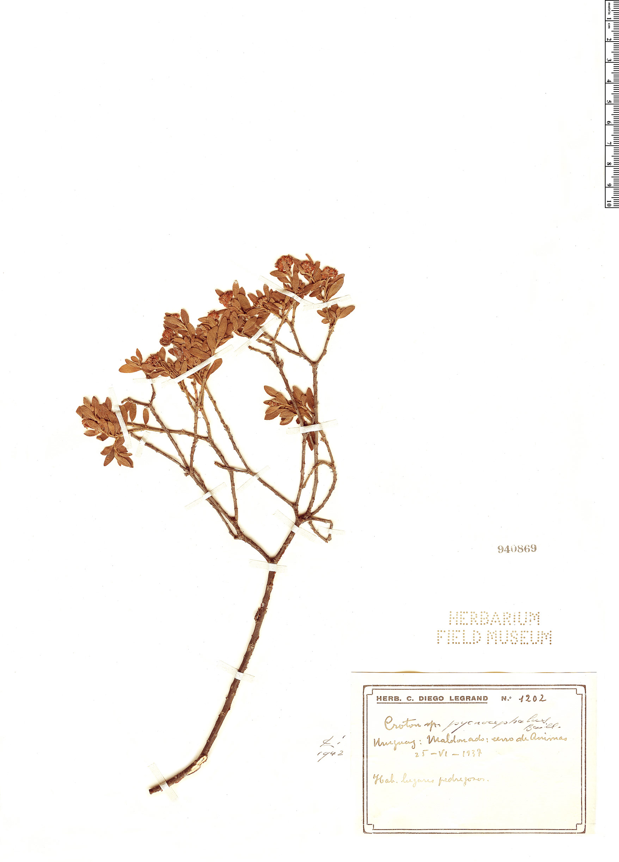 Specimen: Croton pycnocephalus