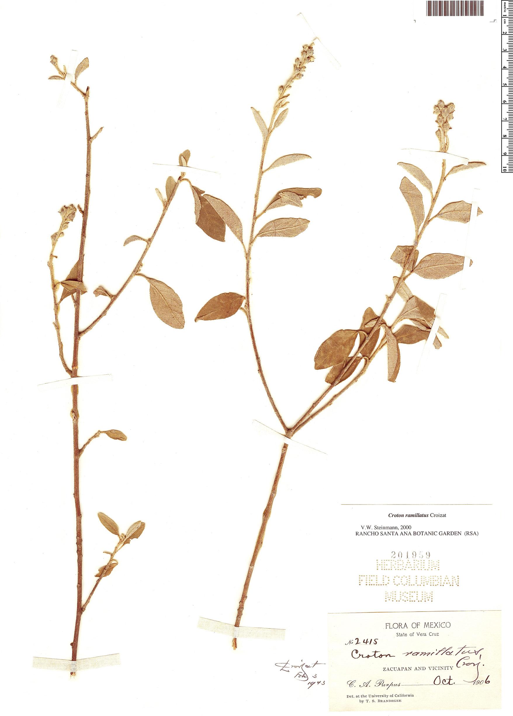 Specimen: Croton ramillatus