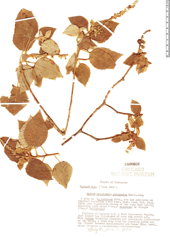Specimen: Croton redolens