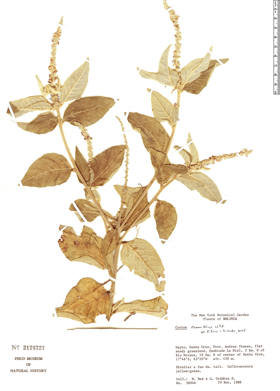 Specimen: Croton rhamnifolius