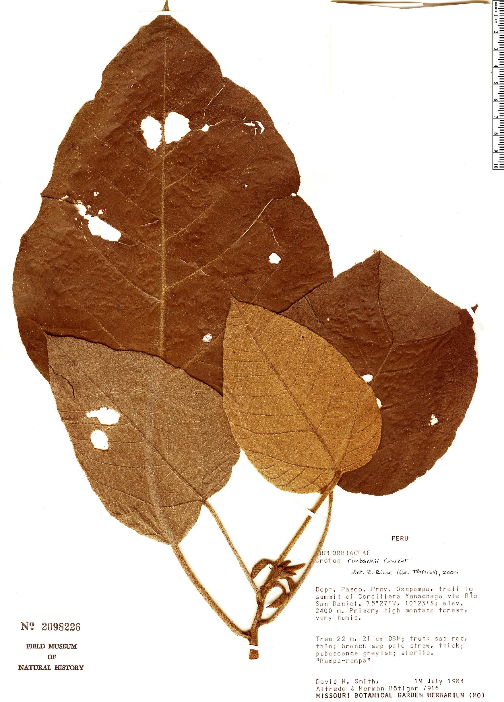 Specimen: Croton rimbachii