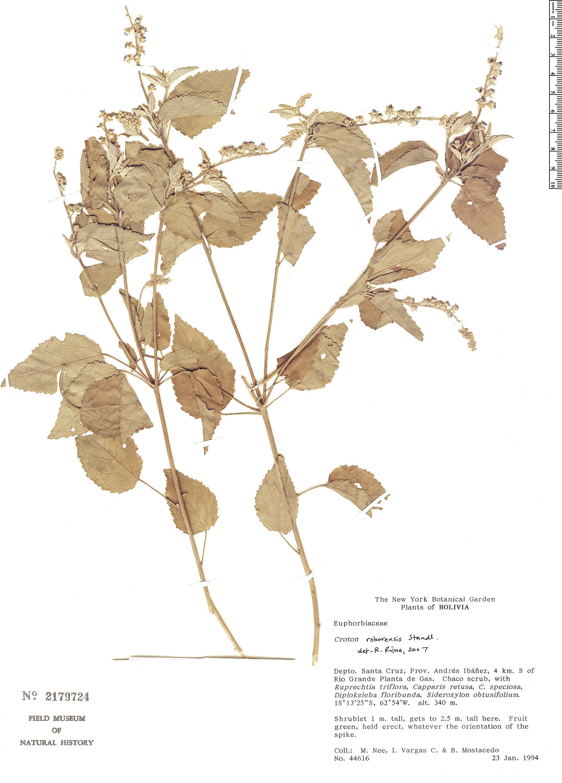 Specimen: Croton roborensis