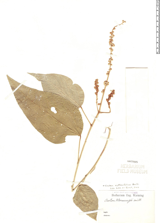 Specimen: Croton rottlerifolius
