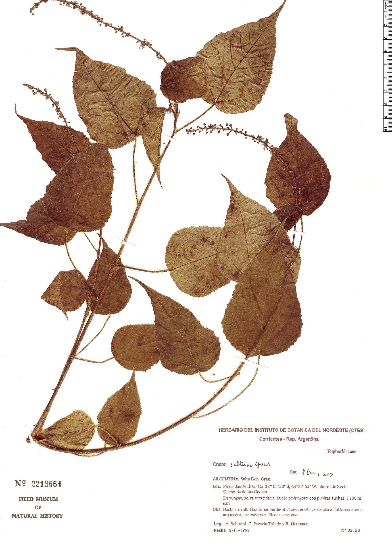 Specimen: Croton saltensis