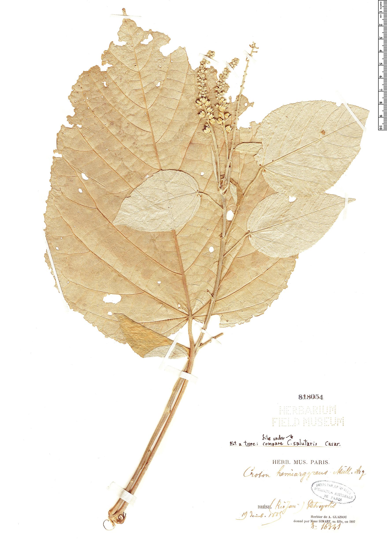 Specimen: Croton salutaris