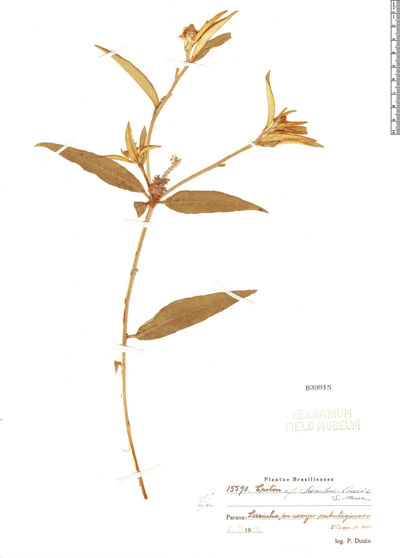 Specimen: Croton sanctae-crucis