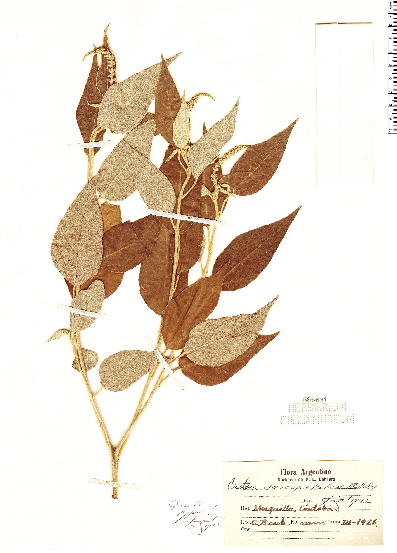 Specimen: Croton sarcopetalus