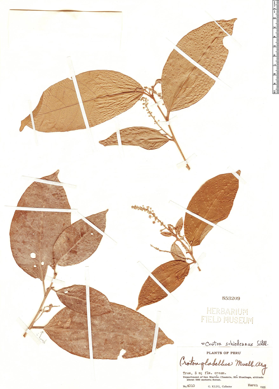Specimen: Croton schiedeanus