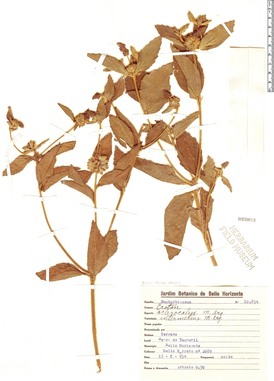 Specimen: Croton sclerocalyx