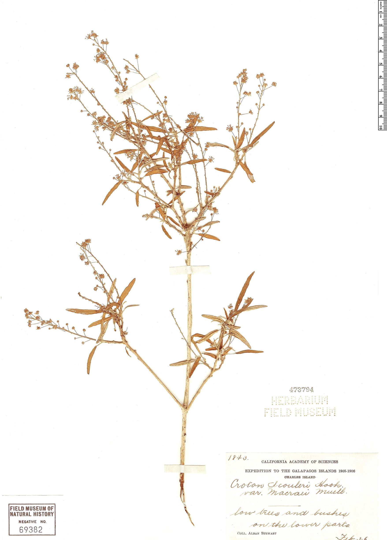 Specimen: Croton scouleri