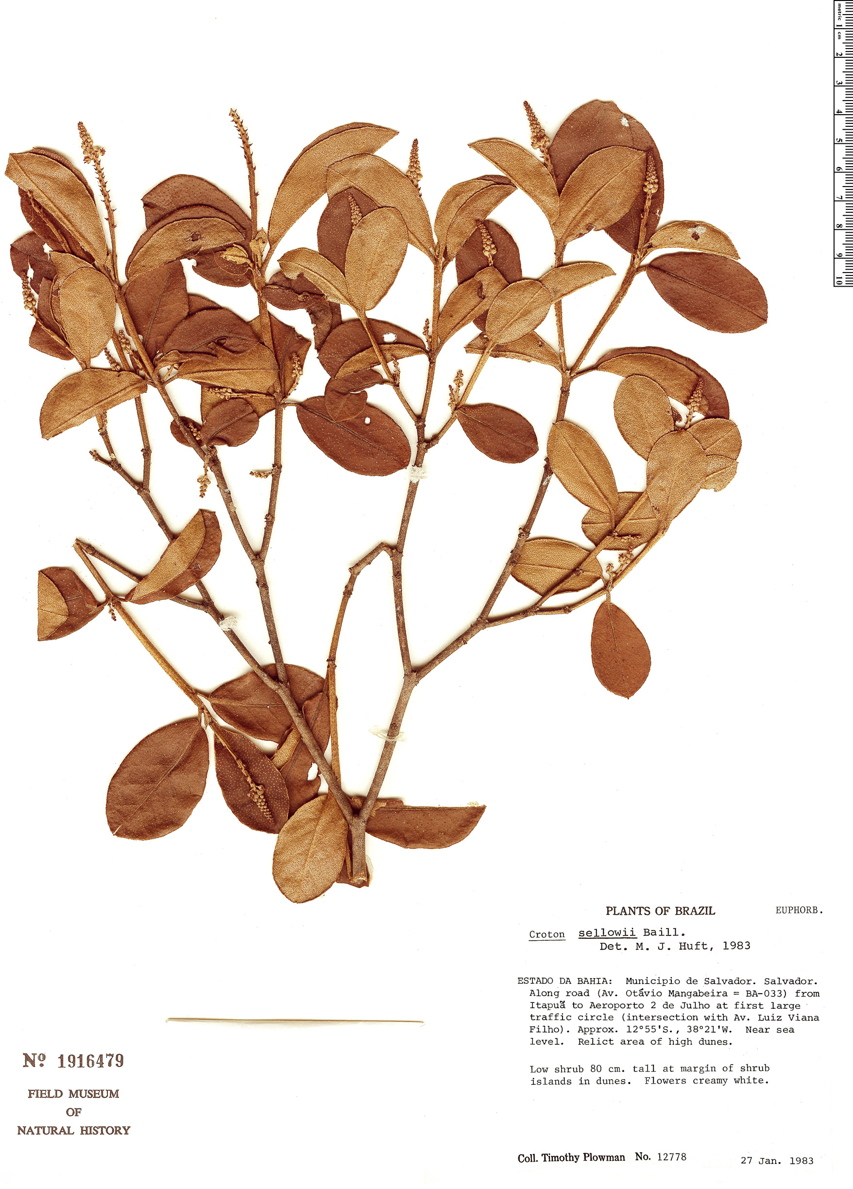 Specimen: Croton sellowii
