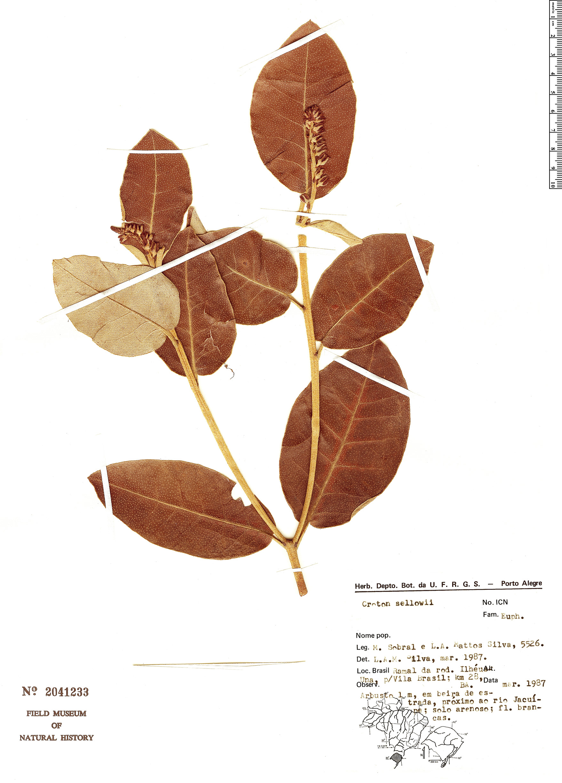 Specimen: Croton sellowii