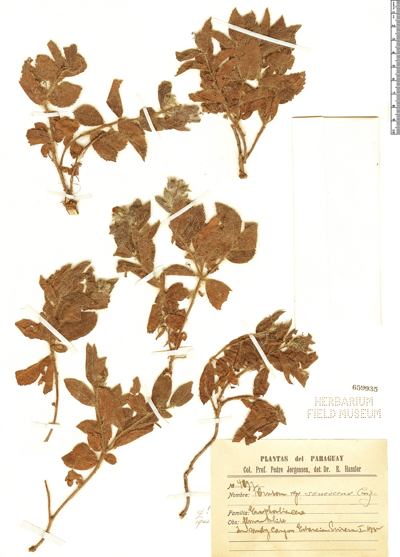 Specimen: Croton senescens