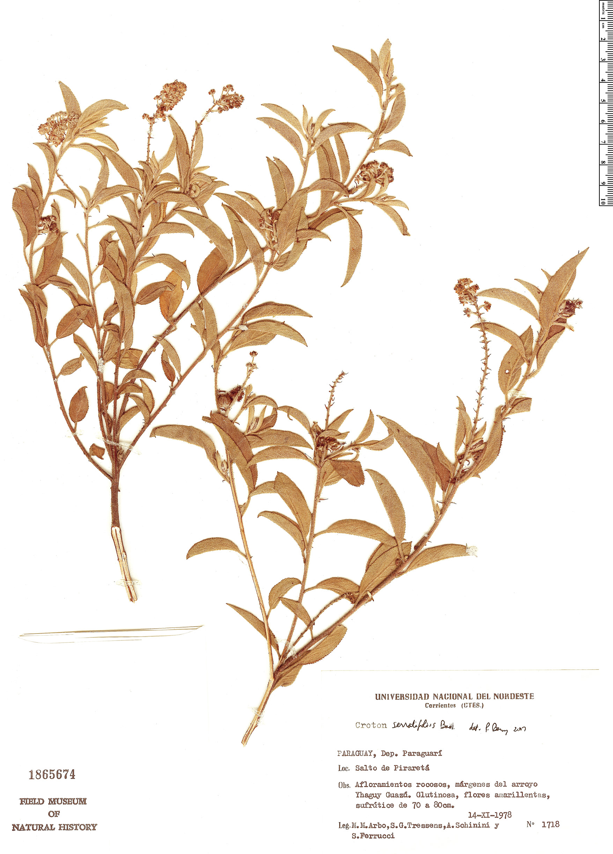 Specimen: Croton serratifolius