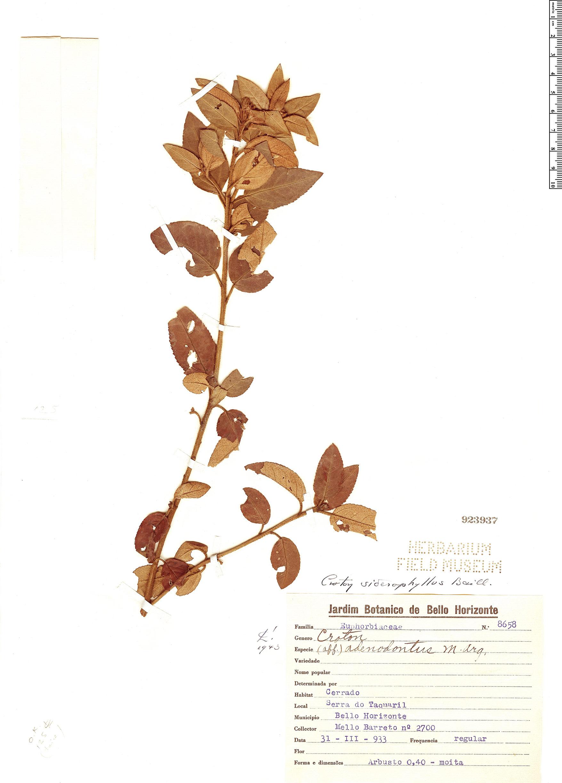 Specimen: Croton siderophyllus